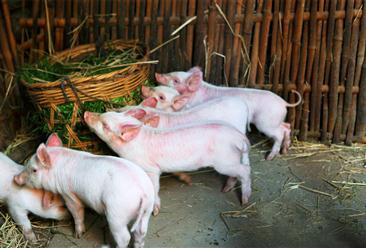 2021年5月12日全国各地最新猪肉价格行情走势分析