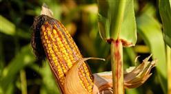 2021年5月27日全国各地最新玉米价格行情走势分析