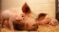 2021年中国猪肉行业区域分布现状分析:四川产量占比9.3%(图)