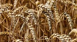 2021年中国夏粮行业运行情况分析:产量同比增长2.1%(图)