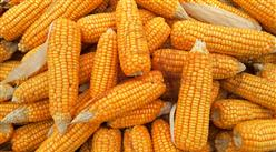 2021年8月玉米市场供需及价格走势预测分析:国内价格继续下跌,国际价格先涨后跌