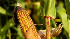 2021年9月18日全国各地最新玉米价格行情走势分析