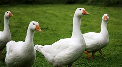 2021年上半年中国禽肉产量:同比增长5.8%(图)