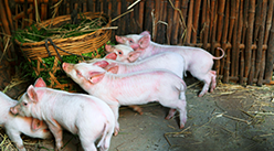 2021年2月14日天津市白条猪批发价格行情